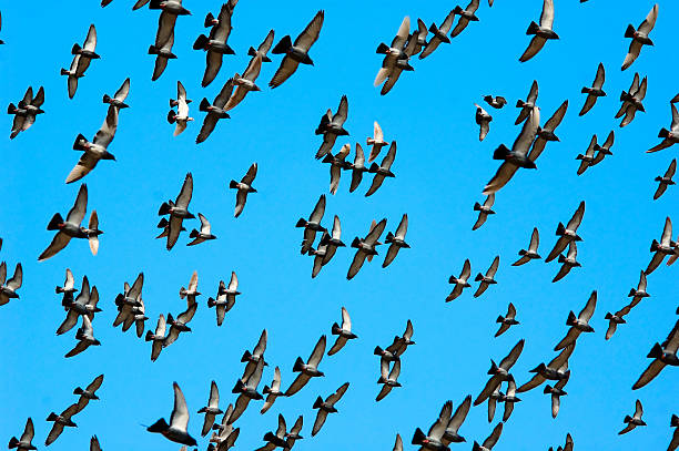Flying homing pigeon stock photo