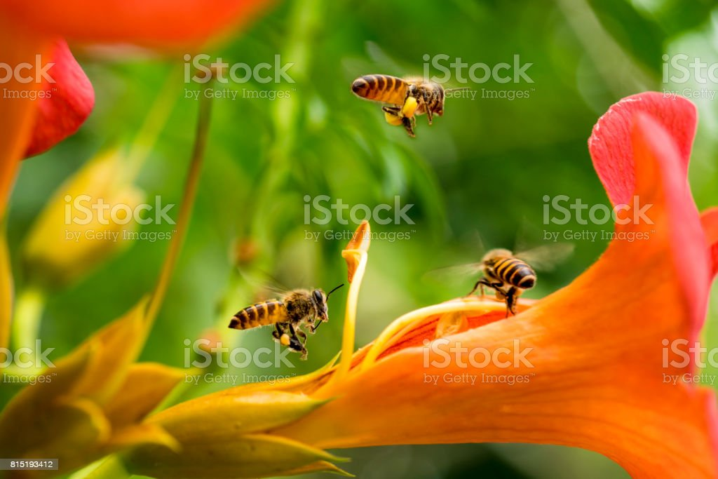 Flying Honey bee collecting pollen from orange Campsis radicans flower stock photo
