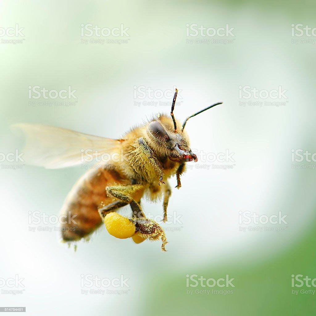 flying honey bee stock photo