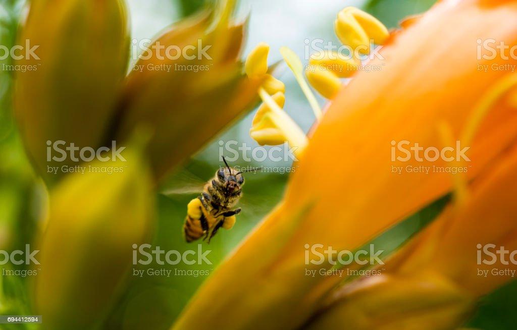 Flying honeybee collecting pollen at orange flower. in the spring season stock photo