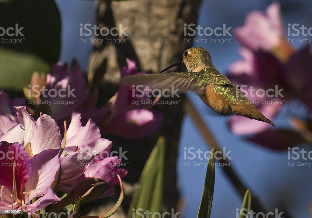 flying hummingbird about to feed royalty-free stock photo