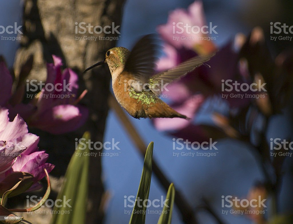 flying hummingbird getting ready to feed. royalty-free stock photo