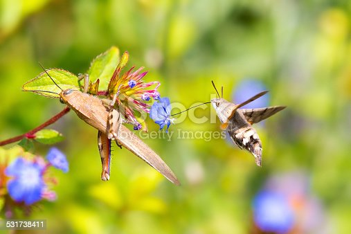 Flying hummingbird hawk-moth and a grasshoppers feeding on flowers. Macroglossum stellatarum in Italy with a long proboscis and with hovering behaviour, accompanied by an audible humming noise, make it look remarkably like a hummingbird while feeding on flowers.