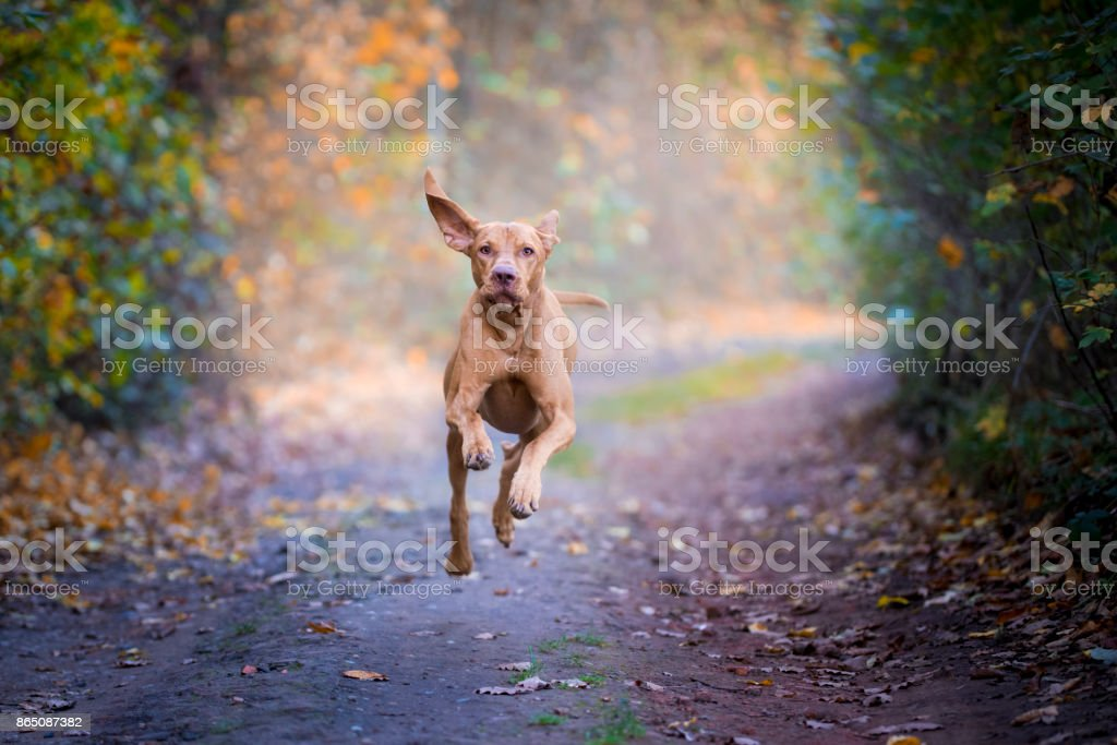 Flying dog vizsla hongrois en automne - Photo