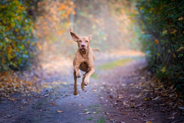 Flying dog vizsla hongrois en automne - Photo