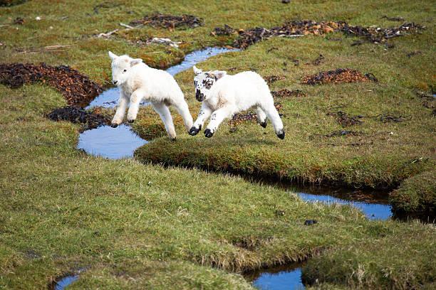vol d'agneaux - Photo