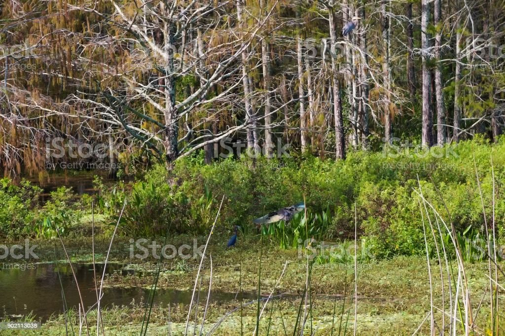 flying little blue heron stock photo