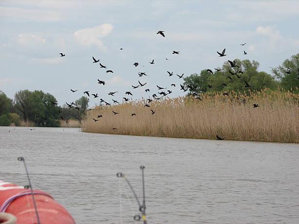 Flying Seetaucher auf den Fluss – Foto