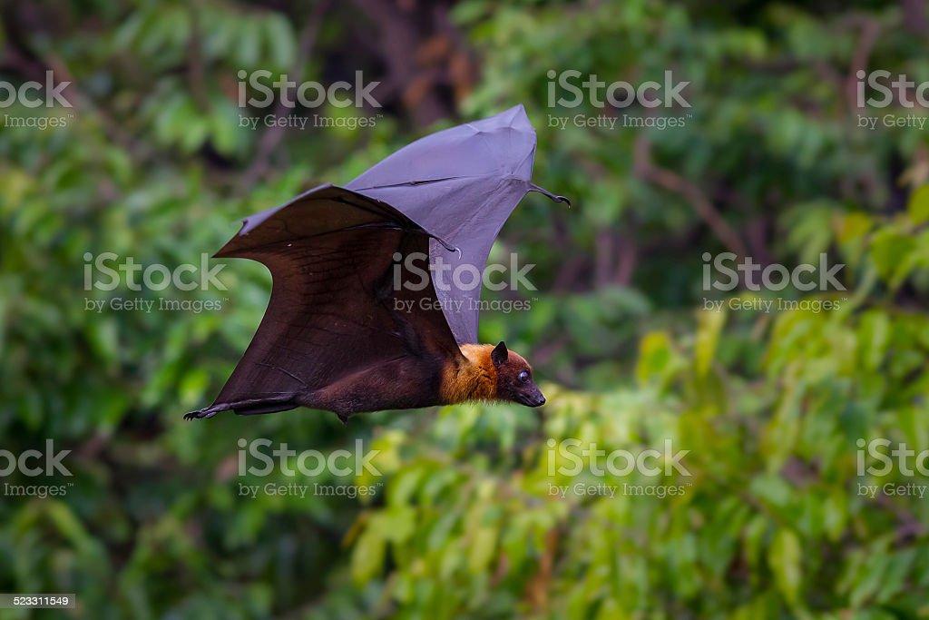 Flying male Lyle's flying fox (Pteropus lylei) stock photo