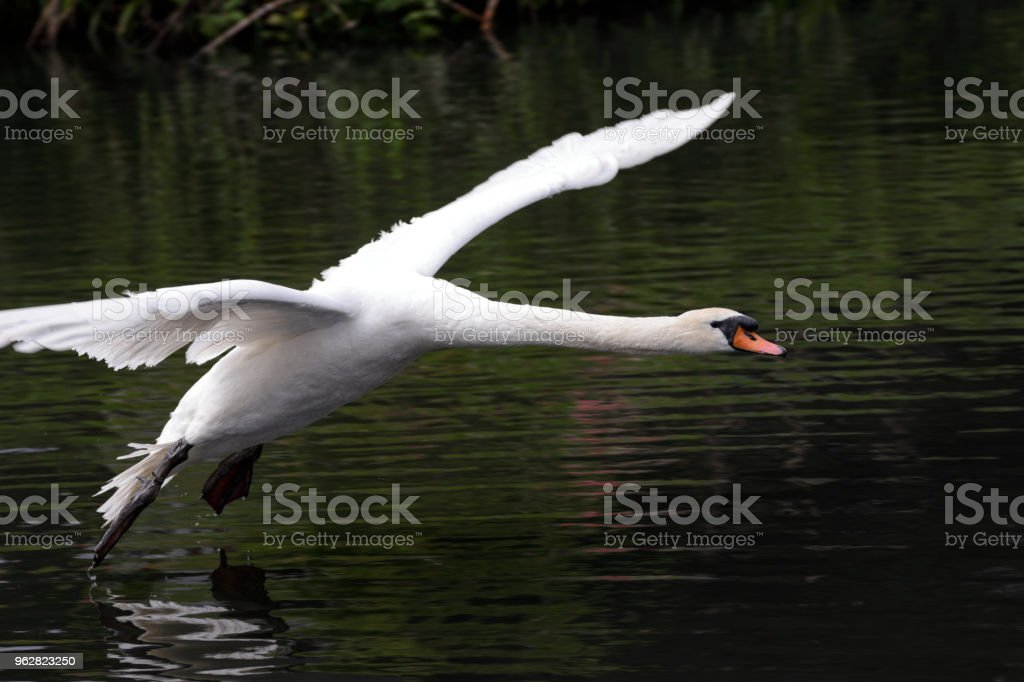 Flying male mute swan in Canada goose chase - Foto stock royalty-free di Acqua
