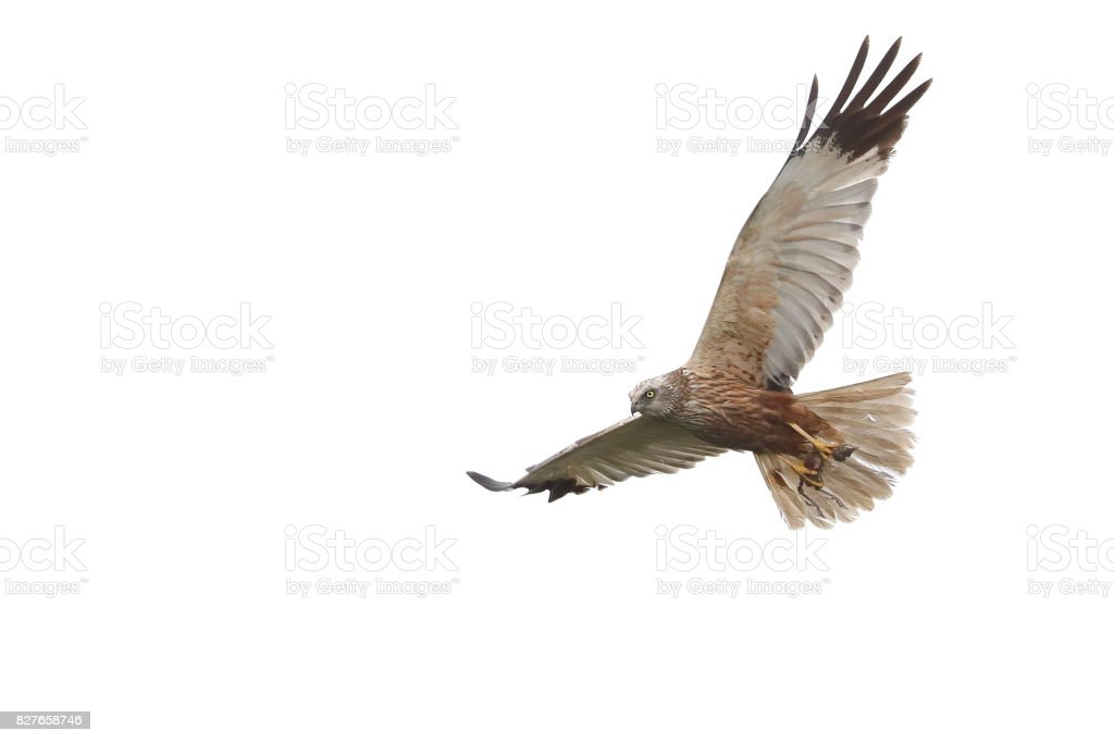 Flying male western marsh harrier (Circus aeruginosus) stock photo