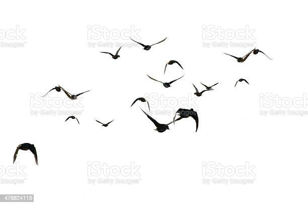 Flying mallards isolated picture id476824115?b=1&k=6&m=476824115&s=612x612&h=0zajv2pcougikv j7l9lm5h7upt8inkh thipgr aqu=