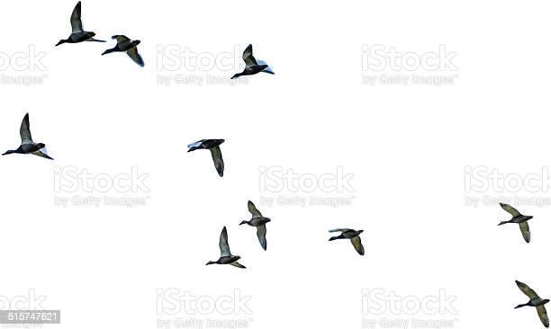 Flying mallards isolated picture id515747621?b=1&k=6&m=515747621&s=612x612&h=m46v0b7ju3 ts9nemtp2kqesxltfhnhdhjxknmxxtku=