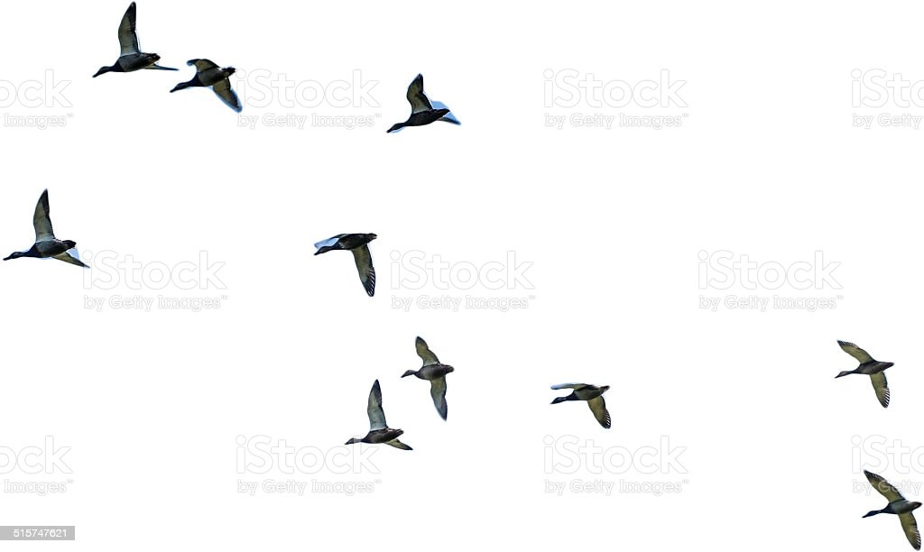 Flying mallards isolated stock photo