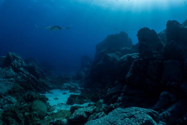 a flying manta ray in socorro island - fondale marino foto e immagini stock