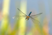 Front view of a flying migrant hawker.