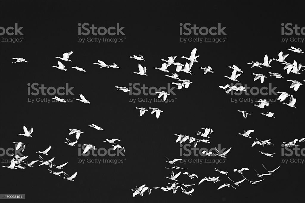 Flying migrating birds at night stock photo