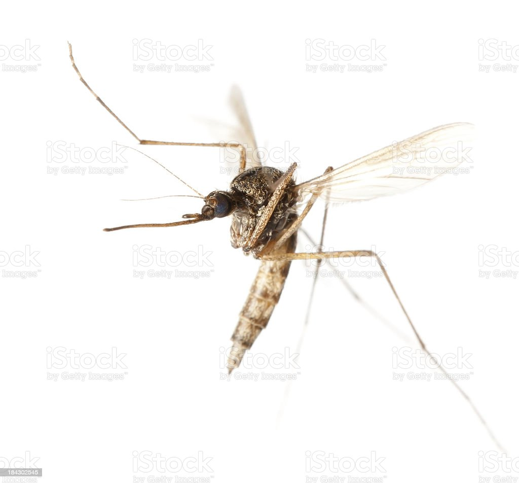 flying mosquito stock photo