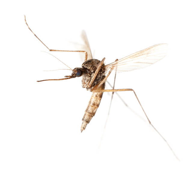 flying mosquito - mosquito stock photos and pictures