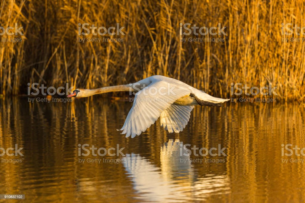 Höckerschwan (Cygnus Olor), spiegelt sich auf Wasser, Schilf, Morgensonne fliegen – Foto