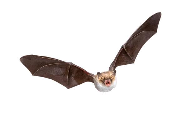 Flying Natterers bat isolated on white background stock photo