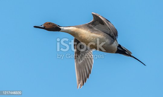 Close up of a flying male Northern Pintail Duck.