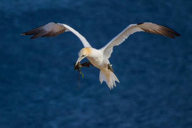 flying northern gannet - northern gannet stockfoto's en -beelden
