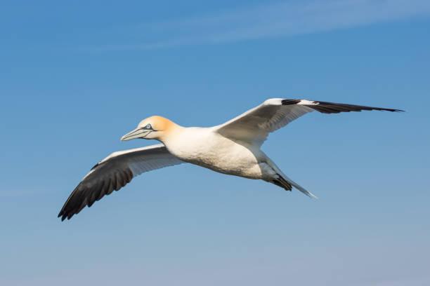vliegen noord genten met spreadout eiland vleugels in de buurt van duitse helgoland - northern gannet stockfoto's en -beelden