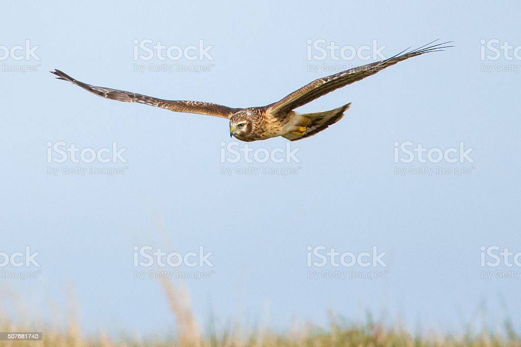 Flying Northern Harrier Hawk stock photo
