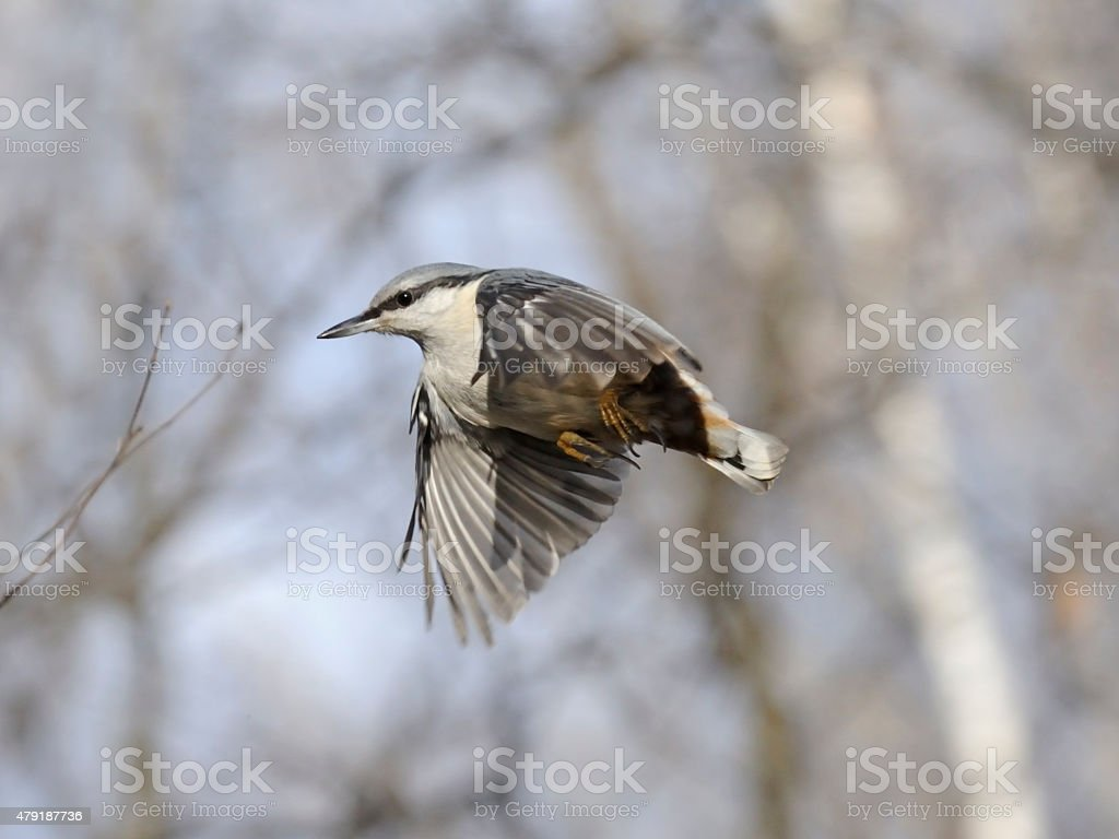 Flying Nuthatch in the leafless autumn transparent forest stock photo