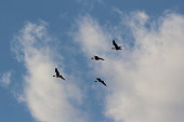 Migratory birds are flying freely in the blue sky