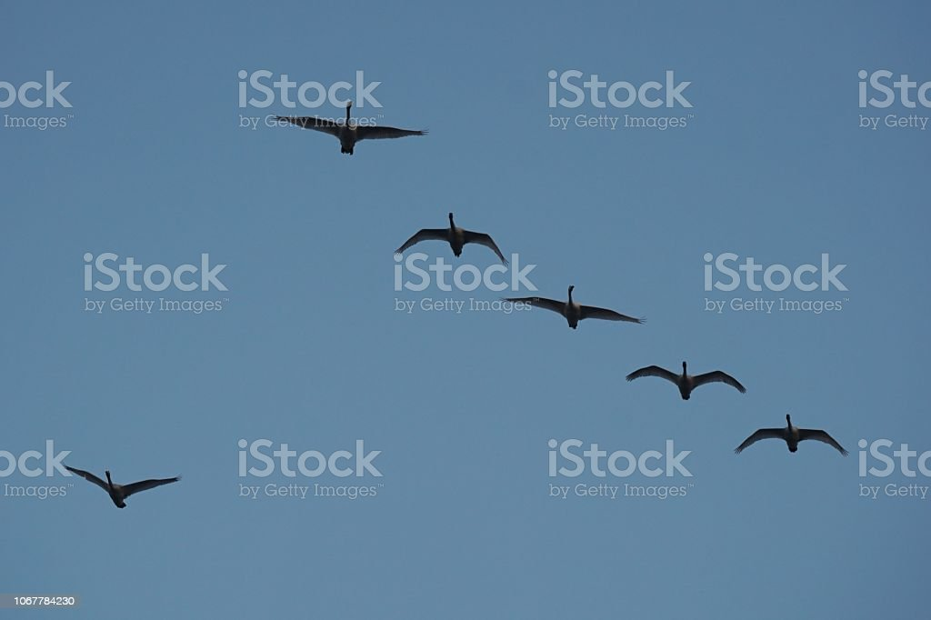 Migratory birds are flying freely through the autumn sky