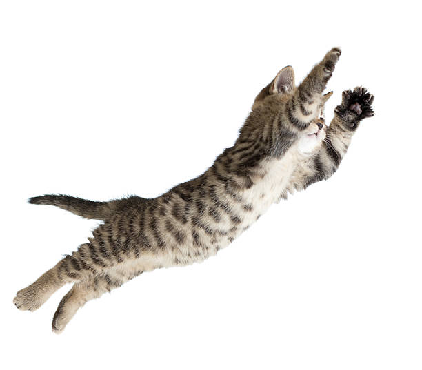 Flying or jumping kitten cat isolated picture id528736610?b=1&k=6&m=528736610&s=612x612&w=0&h=tdsijtlv8g vqgqvhdkgxulx2nircqeoh2dyubhwnog=