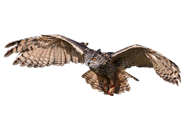 Flying owl isolated on white background bildbanksfoto