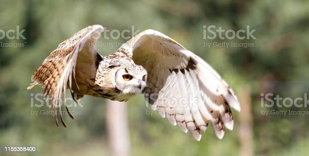 Flying owl picture id1155358400?b=1&k=6&m=1155358400&s=612x612&h=pnhrt5yqcr1yvf8dwow1ap28qw5teyjy 19 gfvqiva=