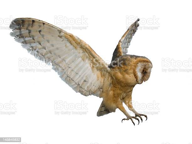 Flying owl picture id145845832?b=1&k=6&m=145845832&s=612x612&h=twepqsln5uuzaf1yqdwuc7pp2sb r9cr1ufn c3xvuc=