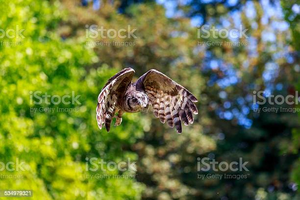 Flying owl picture id534979321?b=1&k=6&m=534979321&s=612x612&h=08prhfskxlwf5lbvgxnwmmublauhd3x x0f6jci4ceq=