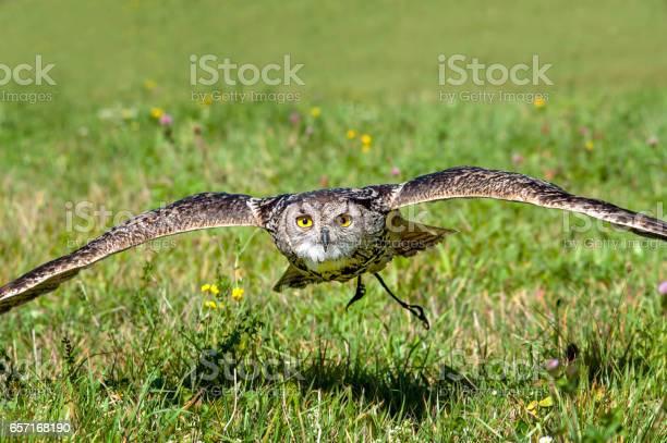 Flying owl picture id657168190?b=1&k=6&m=657168190&s=612x612&h=2fjywv2vuiajd2foj7z9fbd  a7qat llqjvrxphfvc=
