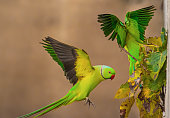 ring necked flying parrot,