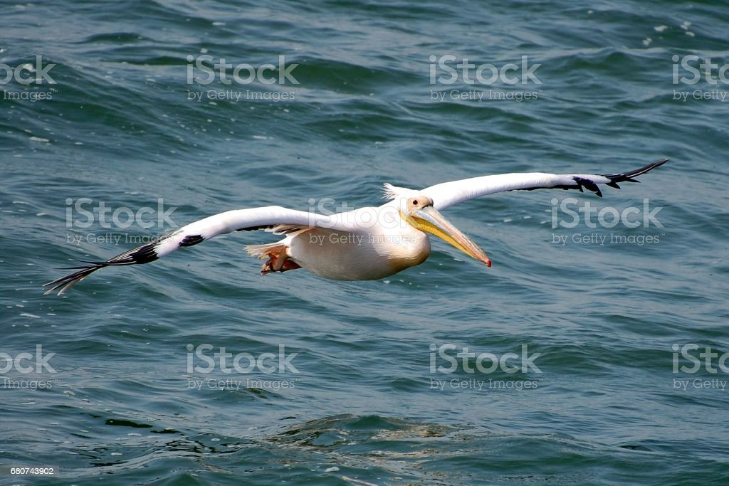 Flying Pelican in the Walvis Bay in Namibia stock photo