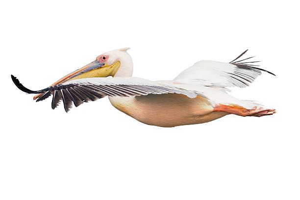 летающий пеликан изолированные - пеликан стоковые фото и изображения