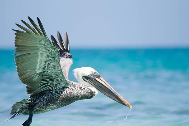 летающий пеликан - пеликан стоковые фото и изображения