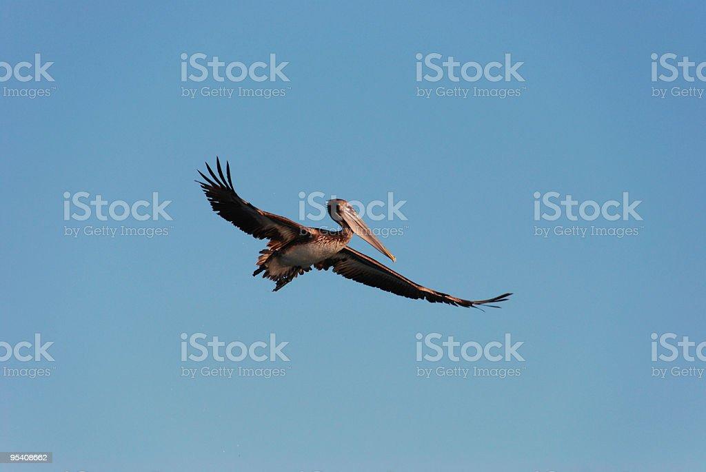 Fliegenden Pelikan Lizenzfreies stock-foto