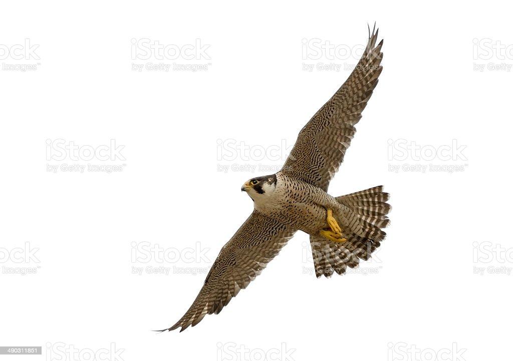 Flying Peregrine Falcon (Falco peregrinus) stock photo