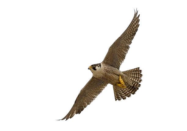 flying peregrine falcon (falco peregrinus) - falcon bird stock photos and pictures