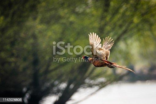 1065862132 istock photo Flying pheasant 1142026805