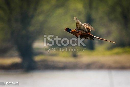 1065862132 istock photo Flying pheasant 1142026817