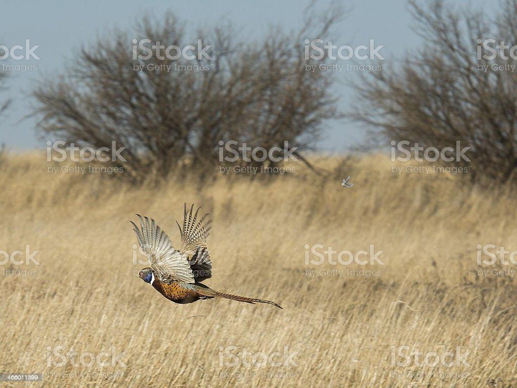 Flying Pheasant stock photo