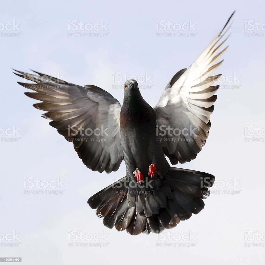 Flying pigeon against beautiful sky stock photo