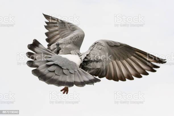 Flying pigeon bird feather wing agains white sky picture id887019040?b=1&k=6&m=887019040&s=612x612&h=hcfiigt8lu bn8fkyx1xzqiqisywt0c2r9pgx6i5hyy=